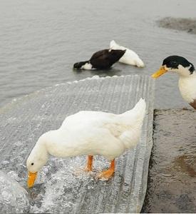 طراحی توجیهی پرورش اردک