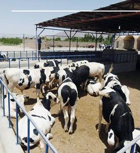 طرح توجیهی پرواربندی گوساله
