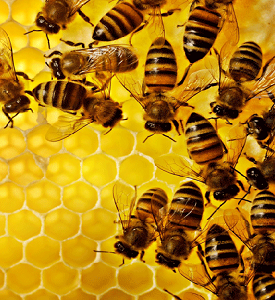 طرح توجیهی زنبور عسل